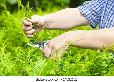 Hands with gardener shears near thuja in summer