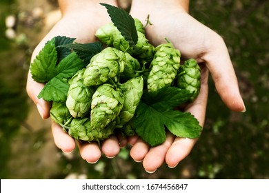Hands of a girl holding a handful of hop cones. Leon, Spain