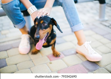 Hands of a girl are stroked by a dog sitting near her feet. Dachshund with a tongue hanging out sits near the feet of a girl