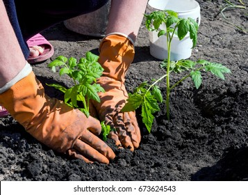 Hands in gloves condense the ground near a planted bush tomato