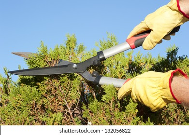 Hands with gloves of gardener doing maintenance work, pruning branch of hedge, bush with garden scissor, isolated with blue sky as background and copy space.