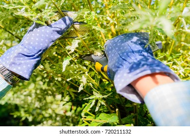 Hands with gloves of gardener doing maintenance work, pruning the willow tree with secateurs