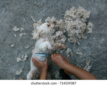 Hands of groomer with scissors, dog grooming