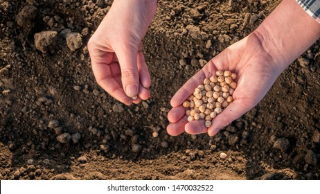 Hands with a handful of seeds above the ground