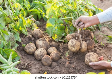Hands harvesting fresh organic potato from soil.