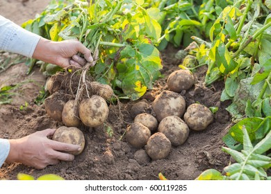 Hands harvesting fresh organic potatoes from soil.
