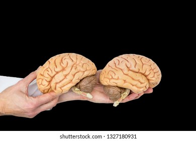 Hands hold human brains model isolated on black background