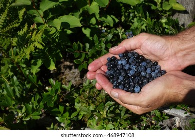 Hands hold out a pile of freshly picked wild blueberries over green plants and unpicked blueberries.
