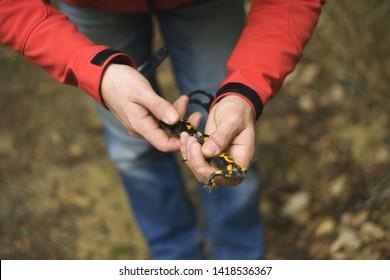 Hands hold yellow-black salamander. Carpathian salamander
