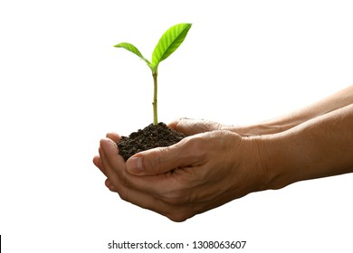 Hands holding and caring a green young plant isolated on white background