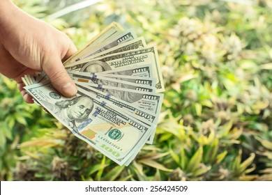 Hands holding cash money in front of marijuana plants