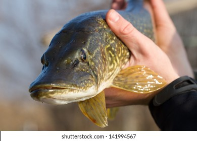 Hands holding caught freshwater pike, ready for releasing back to the water.