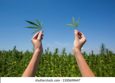 Hands holding CBD hemp leaves in air on field.