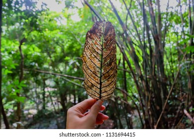 Hands are holding dry leaves.