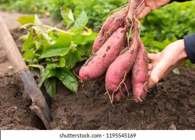 hands holding dug bush of sweet potato close up