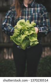 Hands holding fresh lettuce from small farm. Concept of agricultural.  Young woman picking vegetables.