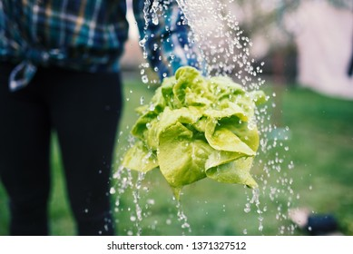 Hands holding fresh lettuce from small farm and washing vegetables.. Concept of agricultural. Young woman picking vegetables. Splash of water.