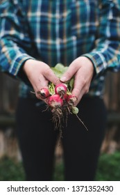 Hands holding fresh radish from small farm. Concept of agricultural. Young woman picking root vegetables.