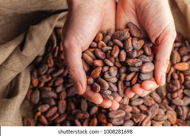 Hands holding freshly harvested raw cocoa beans over a bag with cocoa beans