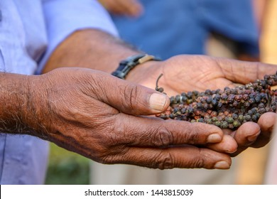 Hands holding freshly picked pepper at a tea and pepper plantation in Southern India, Kerala, India