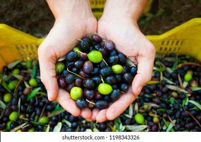 Hands holding harvested olives