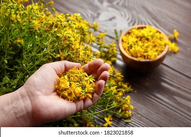 Hands holding Hypericum perforatum or St johns wort herb flowers on dark wooden background, herb medicine harvesting