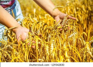 hands holding plants of wheat