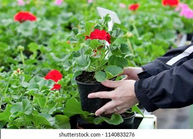 hands holding red geranium