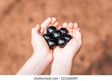 "Hands holding some ""jaboticabas"" (brazilian) fruit"