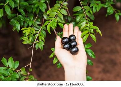 "Hands holding some ""jaboticabas"" (brazilian) fruit with the ""jab"