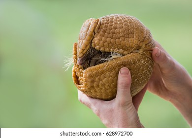 Hands holding a three-banded armadillo (Tolypeutes matacus), rolled up into a defensive ball. Green background with copy space.