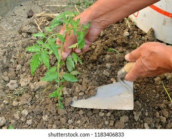 Hands holding a tool planting young seedling