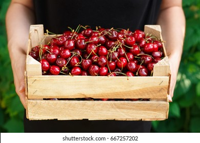 Hands holding wooden box with fresh ripe cherries. Harvest of summer berries