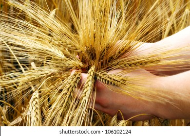 Hands holding young barley.