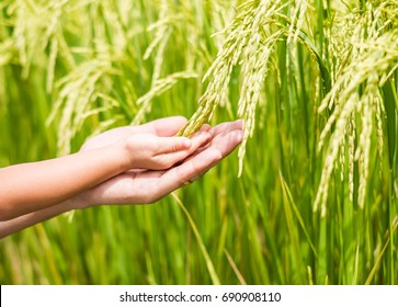 The hands of kids and adult holding the ear rice in the rice field, concept of people and agricultural lifestyle, selective focus photograph.