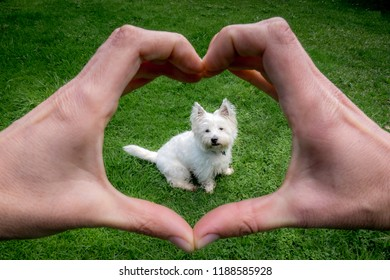 Hands making heart shape around cute west highland terrier westie dog: owner POV point of view - animal welfare and care