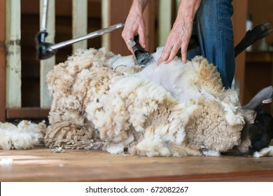 Hands of man sheaving wool from sheep - shearing sheep for wool in barn
