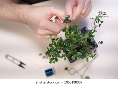 Hands of a man with a thread with a garter of twigs of a small bonsai tree
