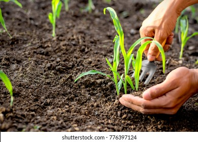 The hands of men are shoveling the soil to the seedlings of the corn growing from the fertile soil, Farming concept.