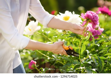 Hands of middle age female gardener. Woman working with secateur in domestic garden at summer day. Gardening activity