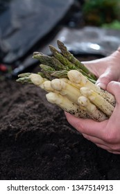 Hands with new harvest of  white and green asparagus vegetable in spring season, asparagus growing up from the ground on farm close up