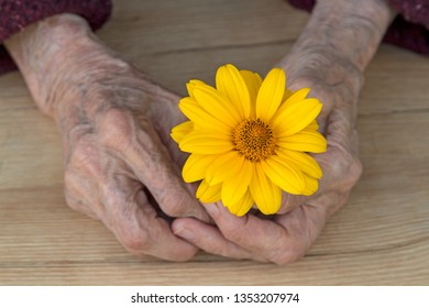 Hands of an old woman with bright yellow daisy