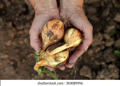 Hands with onion
