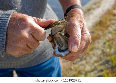 Hands opening an oyster