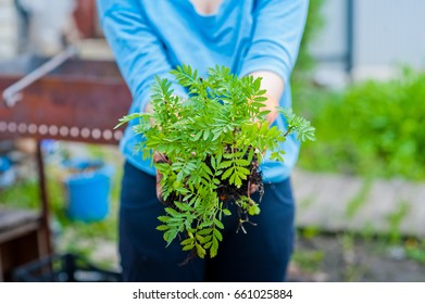 Hands in orange rubber gloves plant seedlings of flowers and vegetables in the ground. Planting of plants in spring