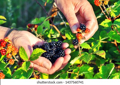 Hands picking blackberries during main harvest season. Wild ripe and unripe blackberries grows on the bush. Female hands hold blackberries. Selective focus