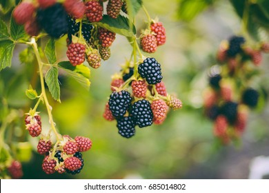 Hands picking blackberries during main harvest season with basket full of blackberries. ripe and unripe blackberries grows on the bush. . Berry background. Female hands hold blackberries.