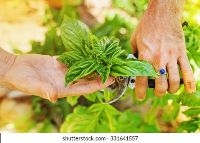 hands picking fresh leaves of basil