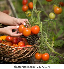 hands picking up fresh organic tomatoes  on a sunny summer day. Gardening and agriculture concept