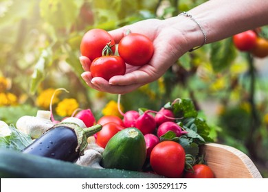 Woman´s hands picking fresh tomatoes to wooden crate with vegetables. Homegrown produce in organic garden